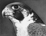 Regal Falcon Eyes